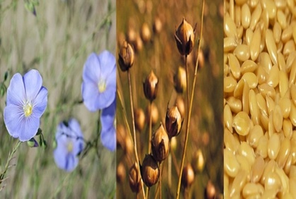 About Flaxseed
