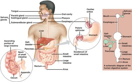 how food is digested, how food travels through the digestive system, human digestive system